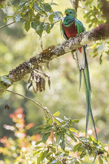 Resplendent Quetzal - Pharomachrus mocinno (KarsKW) Tags: trogon beautiful large chunky bird birds birding colourful colorful gorgeous wildlife animals animal nature aves grande los quetzales el quetzal san gerardo de dota cabinas national park highlands costa rica karskw