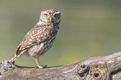 Steinkauz (@Thomas Neuber) Tags: greifvogel natur kaiserstuhl vogel bird owl steinkauz