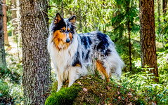 Sipoonkorpi National Park, East-Helsinki 🌴🌴 (Esa Suomaa) Tags: suomi finland scandinavia sipoonkorpi nationalpark nationalparks trees tree dogs collie roughcollie bluemerle trail path olympusomd