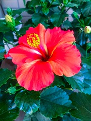 Red hibiscus, single flower, close-up - stock photo Yokohama, Japan May 23, 2019 (DigiPub) Tags: 1151087061