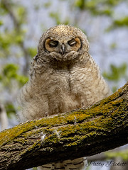 great horned owlet (Pattys-photos) Tags: great horned owlet idaho pattypickett4748gmailcom pattypickett