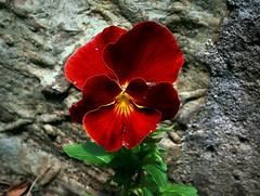 Pansies (Anna Gelashvili) Tags: pansies flower цветочки garden сад цветок flowers анютиныглазки soil ყვავილი ყვავილები leaf macro bright лист макрос яркий красныецветочки