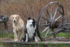 Wagon Ride? (Rainfire Photography) Tags: dog dogs bordercollie goldenretriever farm country apsley ontario northkawartha