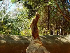 LIBERTAD (LIBERTY) (Pedro Muñoz Sánchez) Tags: suricata suricatta suricato libertad