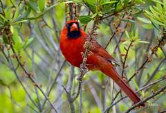 Northern Cardinal (jt893x) Tags: 150600mm bird cardinal cardinaliscardinalis jt893x male nikon nikond500 northerncardinal sigma sigma150600mmf563dgoshsms songbird thesunshinegroup coth alittlebeauty coth5
