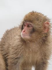 """I Want My Mum ! (Say """"Wasabi"""") Tags: japan snowmonkeys yudanaka snow monkeys jigokudani macaques baby macaque primate onsen hot spring nagano olympus m43 wildlife nature animal"""
