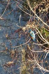 Martin-pêcheur d'Europe - Alcedo atthis_1 (pvp_89) Tags: anjou angers maineetloire martinpecheur alcedo oiseaux birds kingfisher nature sauvage