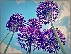 Alliums (Jason 87030) Tags: alliums flowers garden onion family stem sky dwarf clouds trees forest like test mint experiment huawei purple pretty floral may