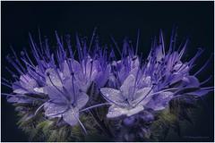 Phacelia tanacetifolia /Büschelblume (HikerandBiker) Tags: a99ii alpha99ii blue bluebottle focusstacking ilca99m2 macro makro pzphotography print sony tamron tamronsp90mmf28dimacro11usd phaceliatanacetifolia