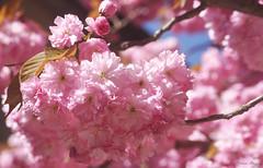 Pink spring (DameBoudicca) Tags: sweden sverige schweden suecia suède svezia スウェーデン cherryblossom sakura kirschblüte 桜 japanischekirschblüte fleursdecerisier fiorediciliegio サクラ körsbärsblomma tree träd 木 baum arbre pink rosa rose ピンク flower blossom blomma blüte flor fiore fleur 花 はな spring vår frühling frühjahr primavera printemps 春 はる