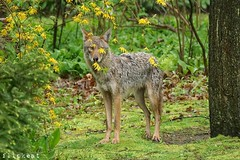 There's No Place To Hide (flipkeat) Tags: wildlife nature animals animal coyote awesome different portcredit mississauga wild photography outdoors closeup
