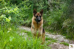 German Sherherd (Allevamento Casa Caligiani) Tags: pastoretedesco germanshepherd schäferhund dog gsd cane
