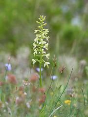 Platanthera_bifolia-67 (Toni Lluch) Tags: olympusomdem5ii mzuiko60mmmacro orqu