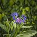 Bergcentaurie (Centaurea montana)