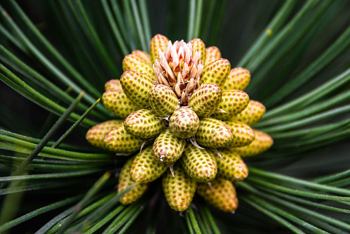 Pattern in nature - Pine cones