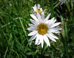 Chamomile (Anna Gelashvili) Tags: flower цветочки chamomile ромашка garden сад цветок flowers soil почва ყვავილი ყვავილები გვირილა თეთრიგვირილა растение