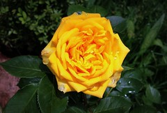 Rose (Anna Gelashvili) Tags: желтыйцветок yellowflower цветы flower flowers цветочки сад garden роза roseflower цветокроза rose цветок ვარდი ყვითელივარდი plant bright ყვავილები yellow яркий желтый растение ყვავილი
