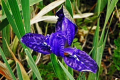 Wild !! (Lopamudra !) Tags: lopamudra lopamudrabarman lopa amritganga amritgangavalley valley vale india garhwal uttaranchal uttarakhand uttarkhand flora flower iris blue trek trekking nature wild wilderness himalaya himalayas highaltitude highland beauty beautiful