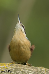 Sitta europaea (Joan Rigo Arnavat) Tags: birds ocells oiseaux wildlife nature natura nuthatch picasoques