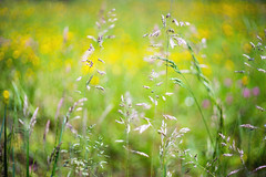 (kuuan) Tags: mf manualfocus m42 yashinon autoyashinonf25cm meadow wiese mostviertel austria flowers colors blumenwiese bokeh macro helicoidadapter closefocusadapter autoyashinon closefocusing wideopen