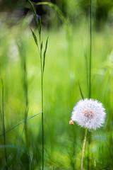 (kuuan) Tags: mf manualfocus m42 yashinon autoyashinonf25cm meadow wiese mostviertel austria colors blumenwiese bokeh macro helicoidadapter closefocusadapter dandelion loewenzahn autoyashinon closefocusing wideopen