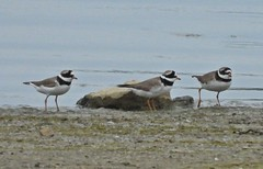 RINGED PLOVERS 25.5.2019