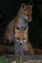 Red Fox - Vulpes vulpes   2019 - 5 (RGL_Photography) Tags: wildlifephotography wildlife wildkingdom vulpesvulpes unitedstates us redfox nikonafs600mmf4gedvr nikond5 newjersey mothernature monmouthcounty kits jerseyshore gardenstate foxkits fox carnivora