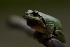 European tree frog/Europäischer Laubfrosch (Hyla arborea) (Simon H. Haas) Tags: europeantreefrog treefrog hylaarborea hyla arborea amphibian amphib europäischerlaubfrosch laubfrosch frog frosch aborealfrog germany bavaria sonyalpha6000 sony90mmmacro