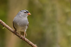 Bruant à gorge blanche/White-crowned sparrow (jean-francoislavallée) Tags: oiseau bird aves bruantagorgeblanche whitecrownedsparrow nature wildlife quebec canada nikon