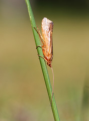 Cinnamon Sedge (Wild Chroma) Tags: amsterdamse waterleidingduinen amsterdamsewaterleidingduinen fly caddis diptera netherlands insects lunatus limnephilus limnephiluslunatus trichoptera limnephilidae
