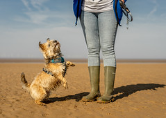 Eyes on the prize (Niaic) Tags: beach dog canine pet cairnterrier training treat prize want gimme walk walking sand sandy coast coastal fixed fixated determined reaching reach stand standing intent intentions intention motivated furry fluffy cute zeiss loxia 250 zeissloxia250