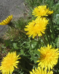 bua (helena.e) Tags: helenae husbil rv motorhome älsa bua dandelion maskros myra ant gul yellow