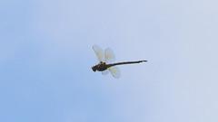 Dragonfly (blazer8696) Tags: dragonfly img7857 butner northcarolina unitedstates 2019 ecw knapofreeds nc t2019 usa