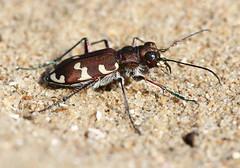 Northern Dune Tiger Beetle (Wild Chroma) Tags: amsterdamsewaterleidingduinen beetle insects netherlands amsterdamse waterleidingduinen cicindela carabidae cicindelinae hybrida cicindelahybrida