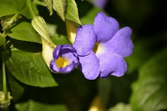 Thunbergia battiscombei (Eusèbe Kainzow) Tags: fleur thunbergiabattiscombei flower languageofflowers perfectpetals