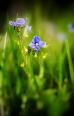 Happy Mothers day 😘 (benjoulol) Tags: myosotis d600 28105d flower nature green blue
