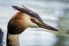 Great crested Grebe (sean4646) Tags: great crested grebe portrait reddishvale d500 nikon wildlife birds tamron150600 spring