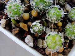 DSC09738 (ftchbschk) Tags: seedling seedlings cactus cacti cactusplants cactusseedlings cactusseed mammillaria mamillariadeherdtiana mammillarialuethyi mammillariabertholdii mammillarialasiacantha mammillariasanchezmejoradae frailea eriosyce neochilenia