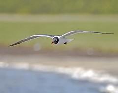 Laughing Gull (polaski2282) Tags: birdinflight bif birdsinflight laughinggull leucophaeusatricilla gull shorebird