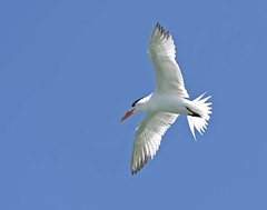 Royal Tern (polaski2282) Tags: royaltern thalasseusmaximus tern birdinflight bif birdsinflight