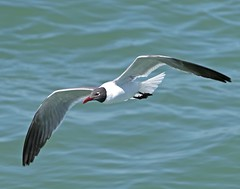 Laughing Gull (polaski2282) Tags: birdinflight bif birdsinflight laughinggull leucophaeusatricilla gull shorebird seagull