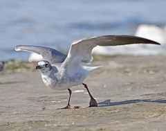 Juvenile Laughing Gull (polaski2282) Tags: laughinggull leucophaeusatricilla gull shorebird seagull