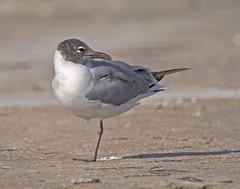 Laughing Gull (polaski2282) Tags: laughinggull leucophaeusatricilla gull shorebird seagull