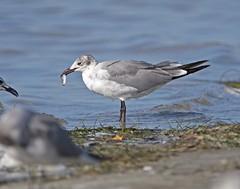 Juvenile Laughing Gull (polaski2282) Tags: laughinggull leucophaeusatricilla gull shorebird