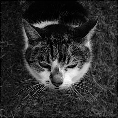 looking (amazingstoker) Tags: cat mono looking down monochrome white grass tabby pussy up black maisie whiskers face fur feline portrait
