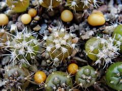 DSC09727 (ftchbschk) Tags: gymnocalycium mammillaria mammillariagasseriana gymnocalyciumspegazzini cactusseedlings cactus cacti