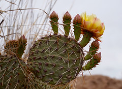 Prickly Pear Blossoms (ikewinski) Tags: pricklypear cactus cactusflowers cactusblossoms flowers