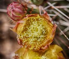 Prickly Pear Blossom (ikewinski) Tags: pricklypear cactus cactusflowers cactusblossoms flowers