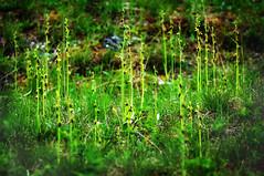 Massenvorkommen von Fliegenragwurz - A mass occurence of fly orchid (cammino5) Tags: orchidee fliegenragwurz ophrysinsectifera thüngersheim höhfeldplatte naturschutzgebiet mai 2019 franken bayern deutschland