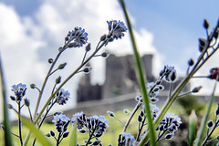 Forget Me Not. Cashel, Co. Tipperary (Sean Hartwell Photography) Tags: forgetmenot flowers cashel rockofcashel tipperaery countytipperary ruins cathedral landscape ireland
